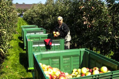 Zweite Äpfel-Pflücke