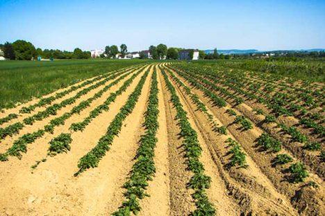 Wachsende Kartoffelpflanzen